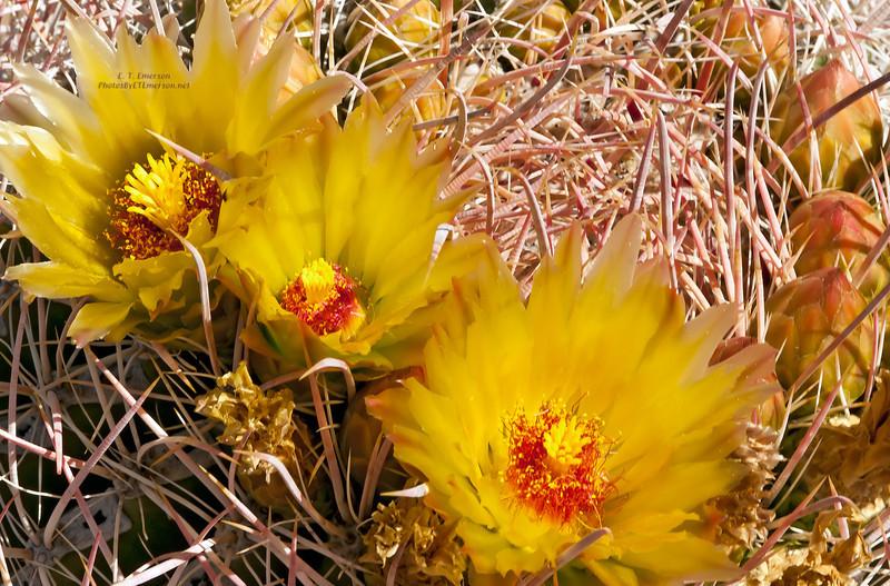 Anza-Borrego DSP Cactus Blooms