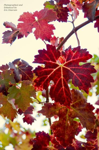 Napa Valley Grape Leaves