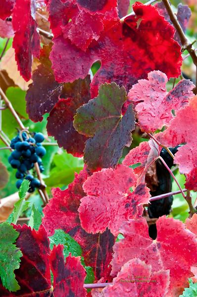 Napa Grapes in Fall