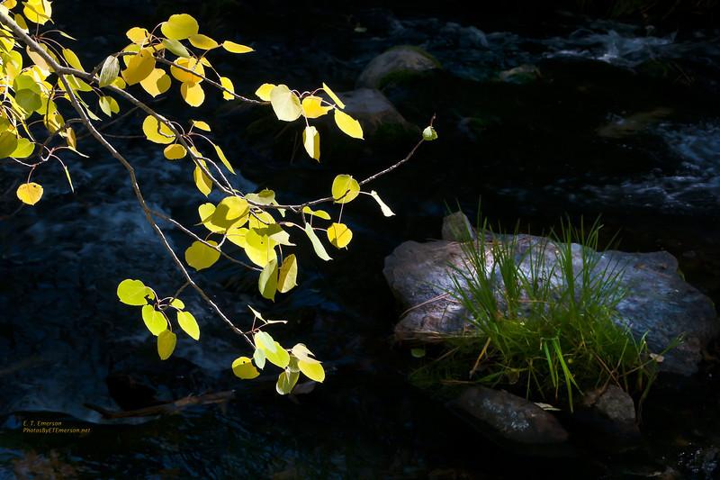Sunlit Aspen Leaves