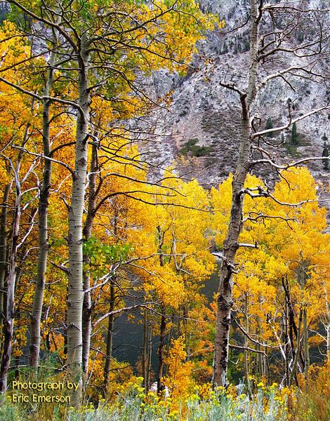 Lundy Canyon Aspen