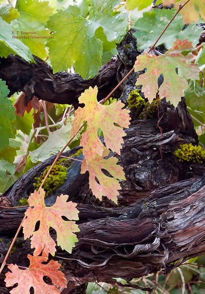 Old Grape Vines