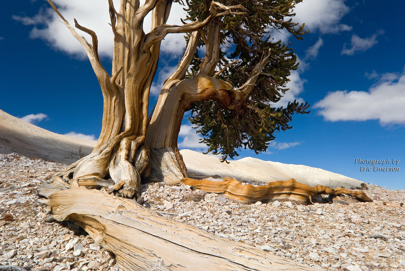 Ancient Bristlecone