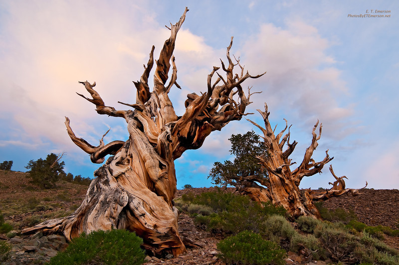 Ancient Bristlecones at Sunset