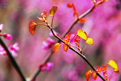 Red Bud Blooms