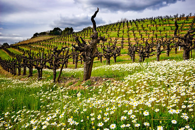 Northern Sonoma Co. Vineyard
