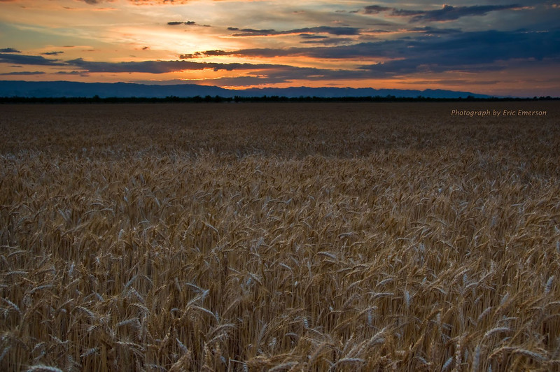 Solano Sunset and Wheat