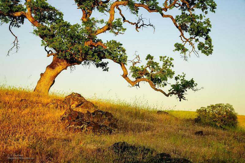 Deer Creek Bonsai Tree