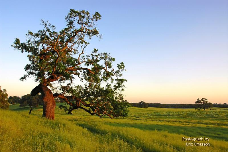 Deer Creek Oak