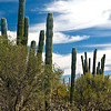 East Cape Cacti