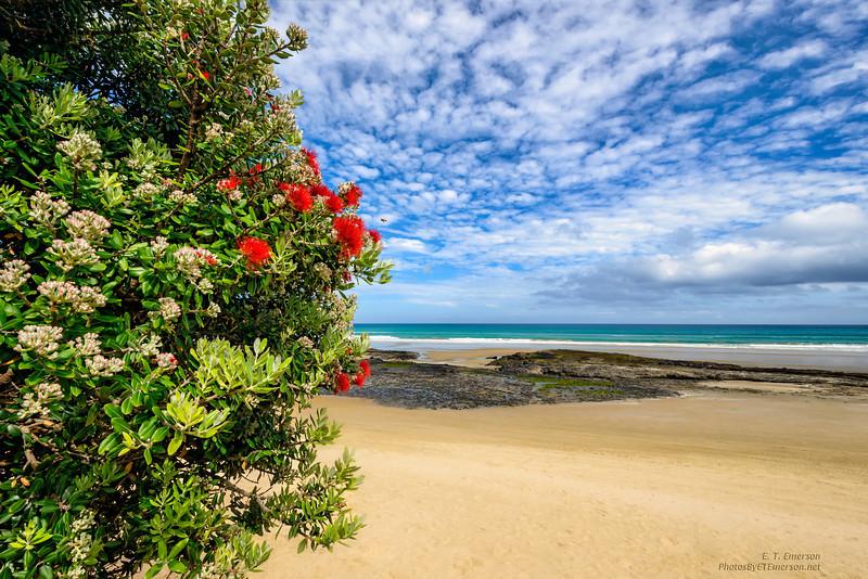Christmas Tree Blooms at Ahipapra Beach, NZ