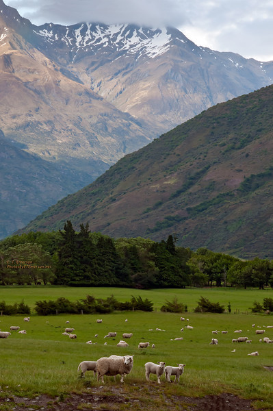 Sheep Grazing on South Island, NZ