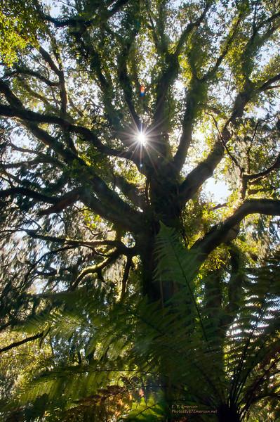 Rimu Tree on South Island