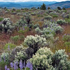 Lupine and Sage on Oregon's High Desert