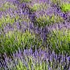 Lavender near Hood River, OR