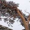 Snowy Juniper on Donner Summit