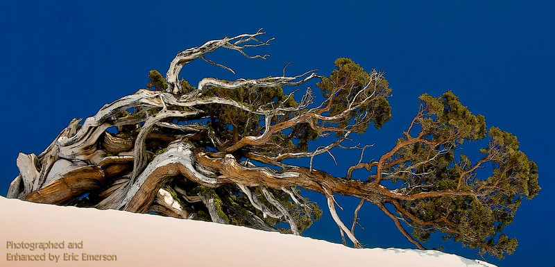 Carson Pass Windswept Juniper