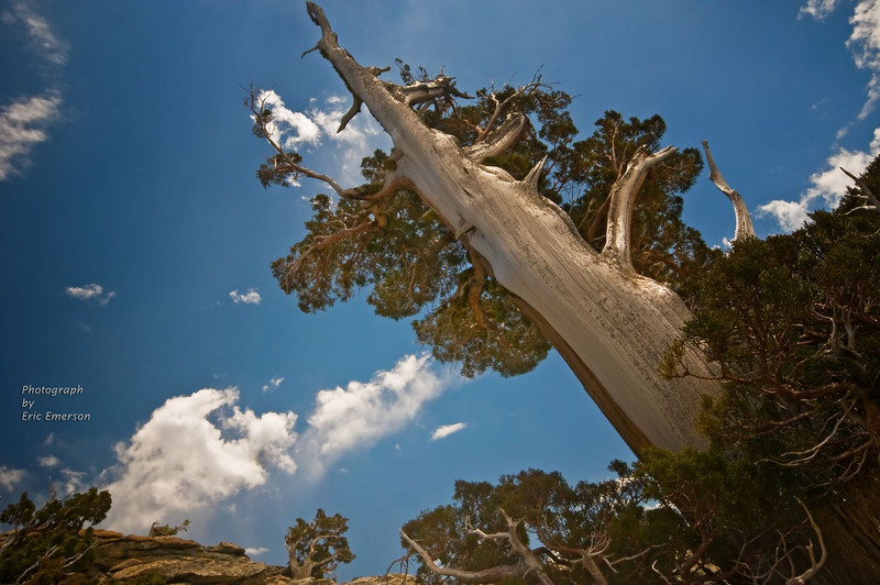 Juniper Reaching for Sky