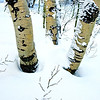 Aspen in Winter near Carson Pass