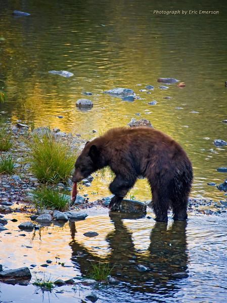 Black Bear at Work near Lake Tahoe