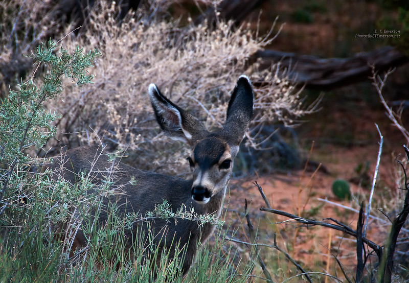 Deer in Arches NP