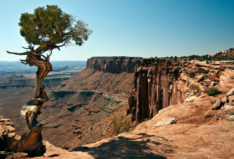 Old Juniper in the Canyonlands