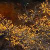 Backlit Oak in Zion NP