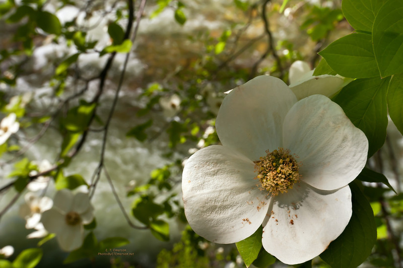 Dogwood Blooms in Yosemite