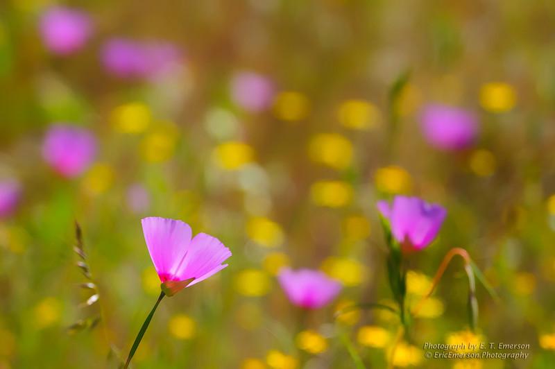 Spring Blooms near Mariposa