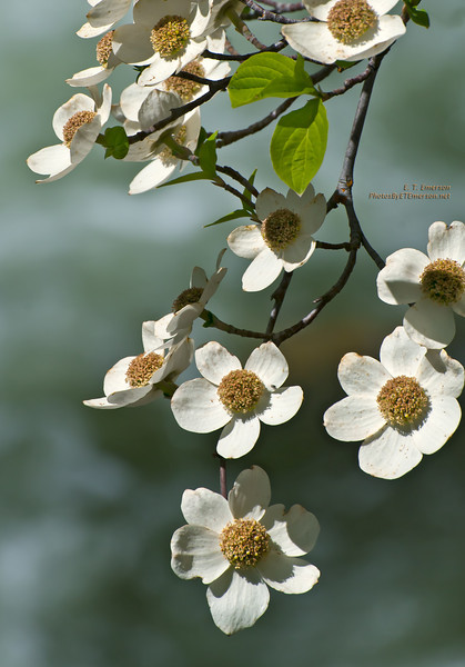 Dogwood Bough