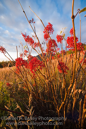 Red mountain as berries on the autumn tundra landscape at sunset, Chugach Mountains, near Anchorage, Alaska