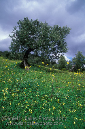 Olive tree and wildflowers, Andalucia, Spain