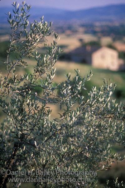 Olive tree and villa, Umbria, Italy