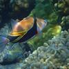 Reef Triggerfish (Humuhumu-nukunuku-a-pua'a in Hawiian)