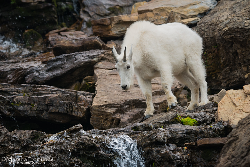 Mountain Goat Coming For a Drink