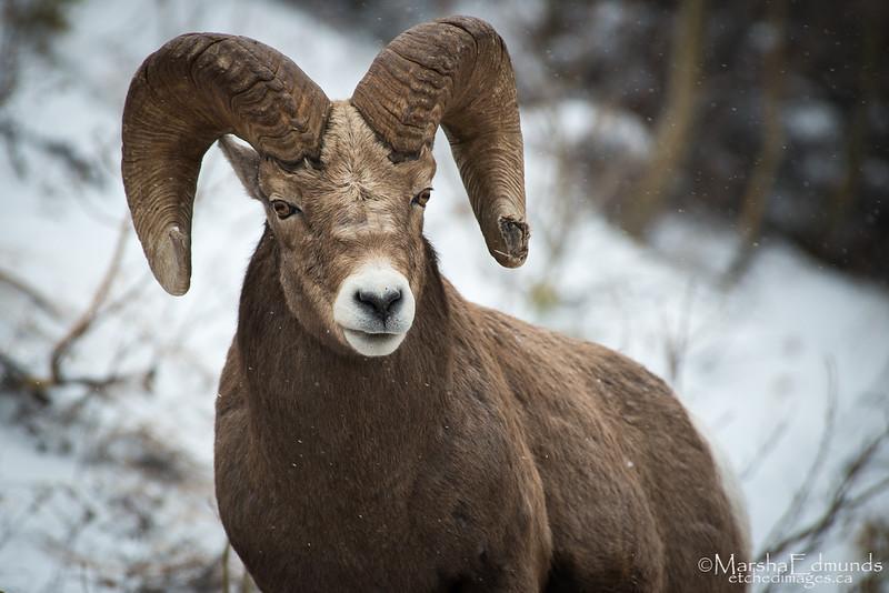 Bighorn Mountain Sheep Ram