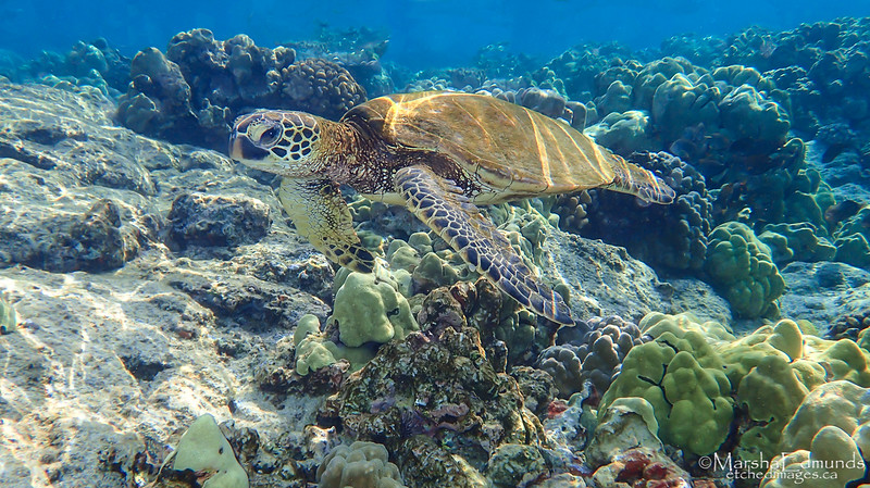 Honu - Green Turtle