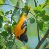 Baltimore Oriole Male - Foraging