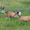 Mule Deer Bucks in Summer