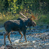 Bull Moose Following Cow and Calf Crossing the Creek