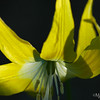 Glaacier Lily