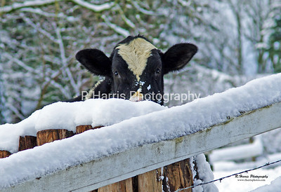 McMillan Cow in the Snow 13x19