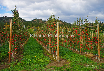 Kettle Valley Apple Orchard 13x19 signed print
