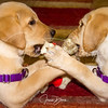 PAWS for Purple Hearts' puppies!