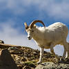Dall Sheep / Big Sky