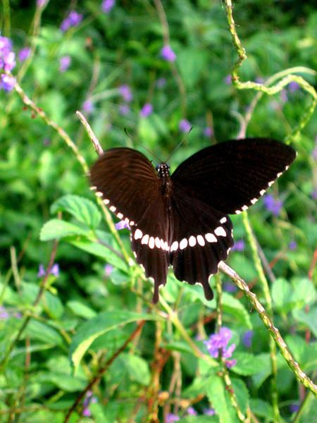 Butterfly in Guam