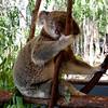 Koala Bear, Cains Australia