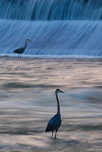 Wading Birds in the Broad River, Columbia, SC