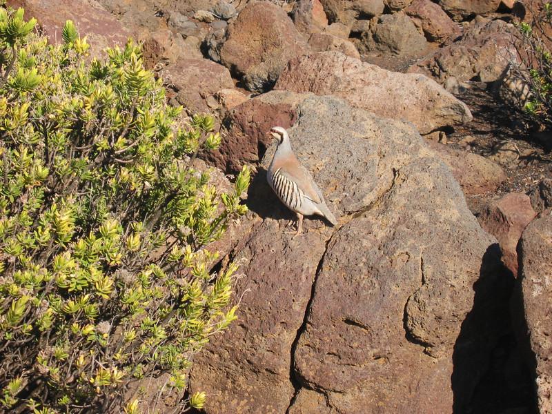 Chukar Bird - Haleakala Volcano, Maui