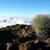 Silversword Plant on Haleakala Volcano, Maui
